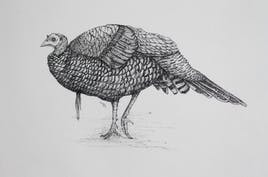 Turkey 1 (pen and ink)